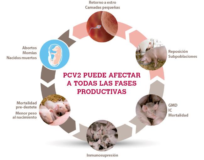 Pcv2 puede afectar a todas las fases productivas