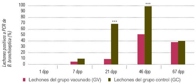 Porcentaje de lechones positivos a PCR de Bordetella bronchispetica en el grupo de lechones provenientes de madres vacunadas y no vacunadas