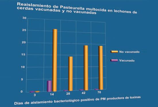 Reaislamiento de Pasteurella multocida en lechones de cerdas vacunadas y no vacunadas
