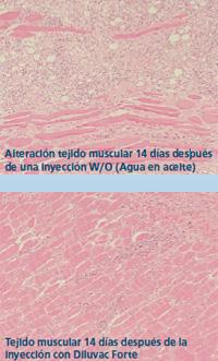 Alteración del tejido muscular 14 días después de una inyección W/O (agua en aceite) y después de la inyección con Diluvac Forte