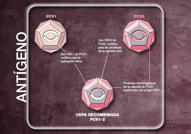 El antígeno de Suvaxyn® PCV