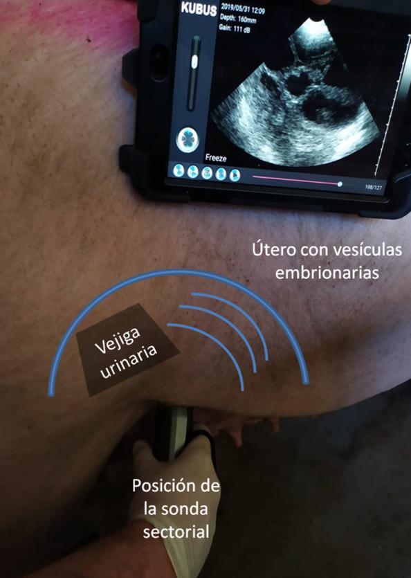 Imagen 1: Posición del transductor para evaluación del aparato reproductor de la hembra (imágen de cerda gestante)