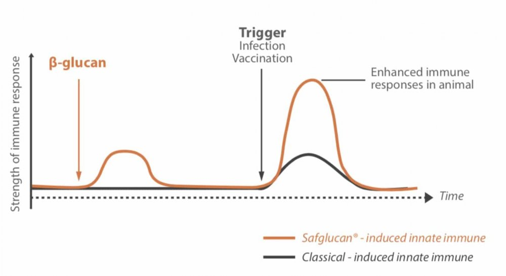 Figure 1 – How Safglucan® induces a small initial response, needed to train and prepare the innate immune cells for an actual infection.
