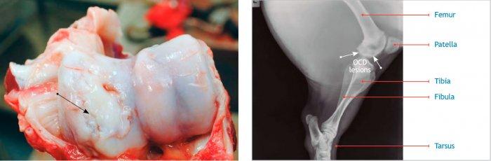 Imagen 1. Osteoconcdrosis (OCD) de los cóndilos (flecha) del húmero asociada a un crecimiento excesivo y un peso corporal elevado al momento de la primera cubrición. Proyección latero-medial del fémur con lesiones condilares radiolúcidas (flechas).