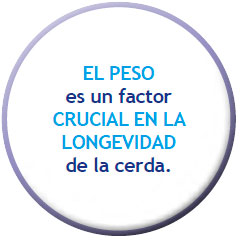 EL PESO es un factor CRUCIAL EN LA LONGEVIDAD de la cerda.