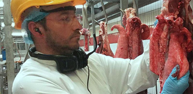 Revisión de pulmones porcinos en matadero