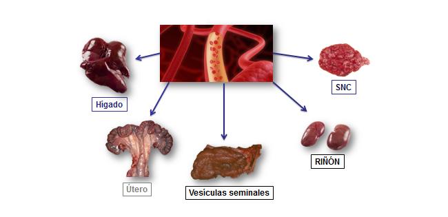 Una vez alcanza el torrente sanguíneo, la Leptospira llega a distintos tejidos siendo el riñón el órgano diana de la enfermedad