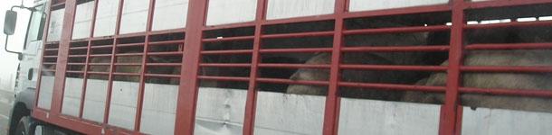 Camión transporte cerdos al matadero