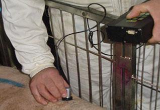 Simultáneamente al pesaje se miden con ultrasonidos los grosores de tocino y lomo.