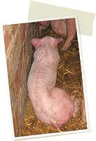 cerdo 3 meses con circovirosis