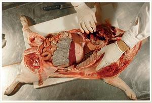 Consolidación pulmonar craneo-ventral