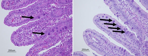 Células caliciformes